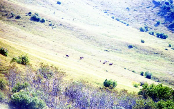 Horses on a Hillside in Montana