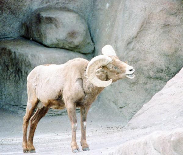 Bighorn Sheep in Zoo