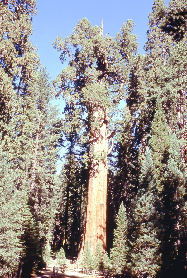 Tallest Tree, Sequoia National Park
