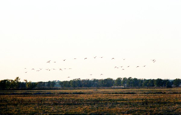 Geese Flying at Dusk