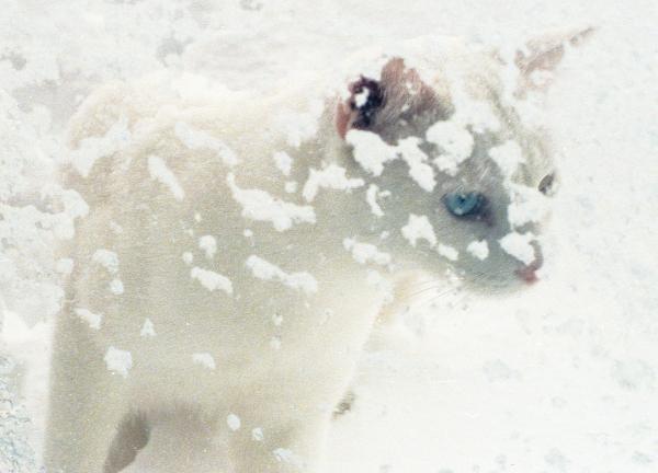 White Cat Looks in Window From Snowy Outside