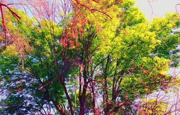English Oak in Spring