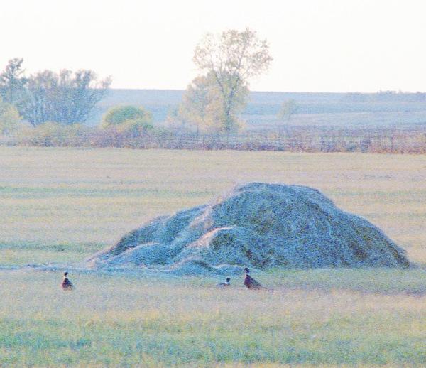 Pheasants by a Haystack