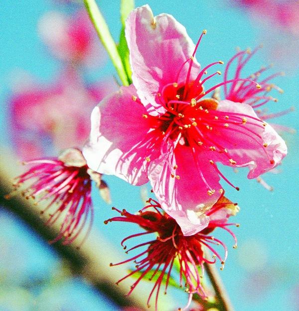 Wilting Peach Flower
