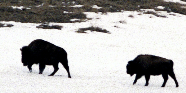 Two Buffalo in the Snow