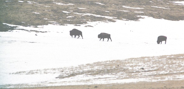 Three Buffalo in the Snow