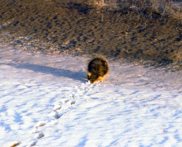 A Hedgehog Trudging Through the Snow